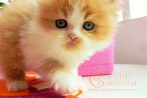 Ginger & White Persian Kitten | Catnip Camera