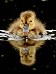photography animals nature reflection duck duckling p-e-r ...