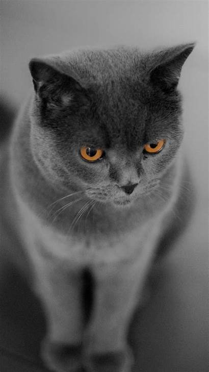 Cat Shorthair British Kucing Mobile Wallpapers Picserio