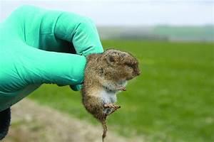 Comment Tuer Un Rat : comment pieger les rats taupiers taupier sur la france ~ Melissatoandfro.com Idées de Décoration