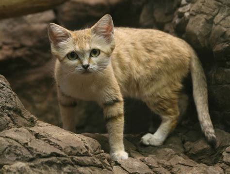 9 Things You Didnt Know About The Sand Cat Mnn Mother