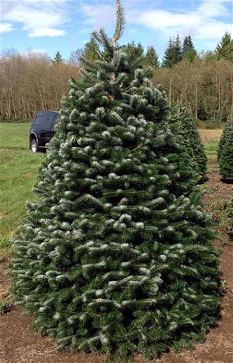 Christmas Tree Aphids by Nordmann Fir Coniferous Forest
