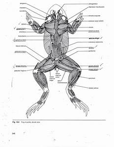 Frog Muscle Anatomy Dorsal View Of Muscles Of Frog Frog