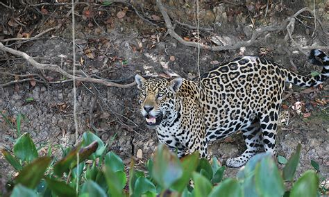 jaguar defenders  wildlife