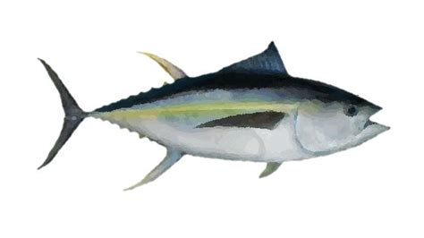 fishing tuna drawings