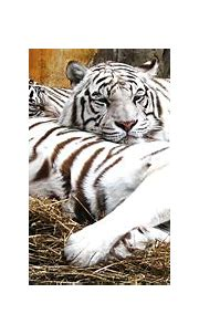 White Tiger HD Wallpaper | Background Image | 2536x1146
