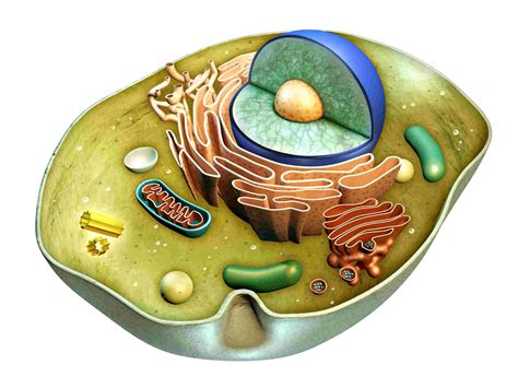 The Cell Biology Cell Biology Review Questions