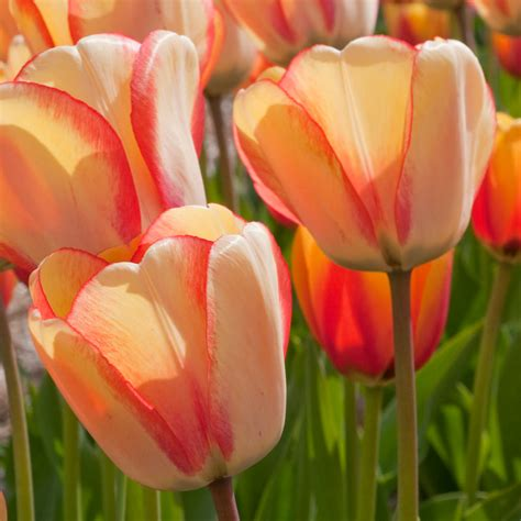 all tulips flower bulbs at wholesale prices