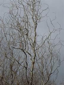 Corkscrew Willow Tree