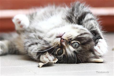 kitten  intestinal parasites