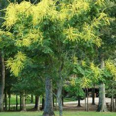 Arbre Ombre Croissance Rapide : 1000 id es sur le th me arbres croissance rapide sur ~ Premium-room.com Idées de Décoration