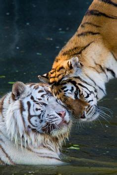 Best Tigers Images Animals Beautiful Big