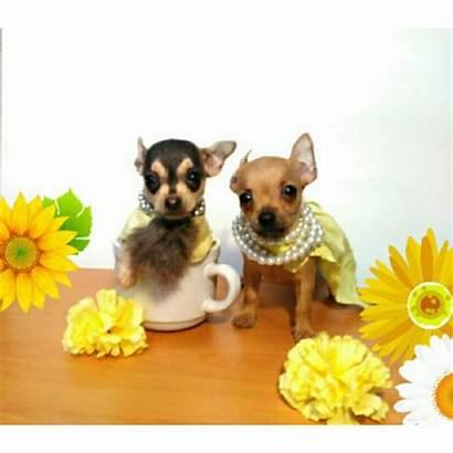 Chihuahua Puppies Apple Head Teacup Weeks Near