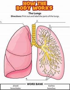 Activity  The Lungs