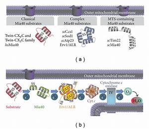 Substrates And General Outline Of The Mitochondrial