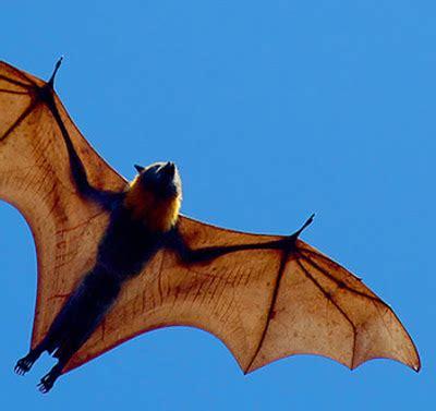 Mammifero Volante Pipistrello Volpe Volante 28 Images Pipistrello Foto E