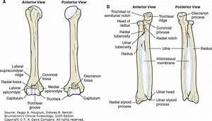 Wiring And Diagram  Diagram Of Ulna And Radius