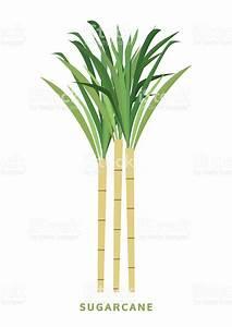 Sugarcane Cane Vector Illustration Isolated Symbol On ...