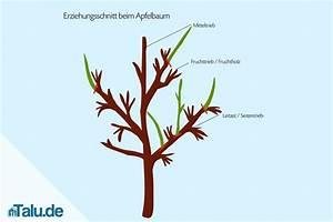 Apfelbaum Schneiden Anleitung : apfelbaum schneiden anleitung anleitung apfelbaum selbst ~ Lizthompson.info Haus und Dekorationen