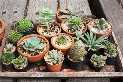 Sydney Succulents - Assorted Varieties - Succulent Gift
