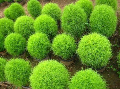 buy kochia scoparia grass burning bush grass kochia scoparia summer cypress seeds rapid grow hardy x20 grow summer