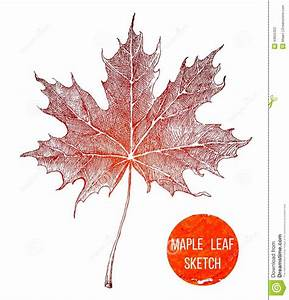 Hand drawn maple leaf stock vector. Image of illustration ...