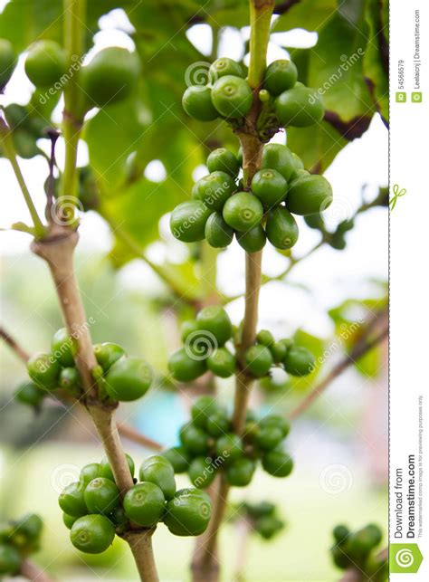 The wood from the tree is used by cabinetmakers and carpenters.it is planted as a street tree. Coffee Beans In Coffee's Tree Stock Image - Image of beverage, caffeine: 54566579