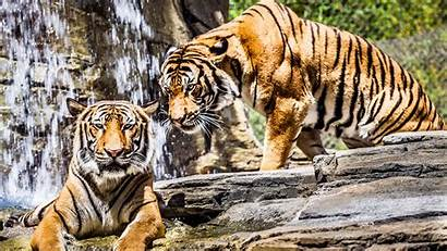 Tiger Backgrounds Ultra Wallpapers Animal Tigers 4k
