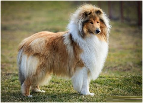 Rough Collie Facts Pictures Puppies Rescue Temperament Breeders Animals Breeds