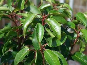 Kleinwüchsige Immergrüne Hecke : portugiesische lorbeerkirsche 39 angustifolia 39 prunus ~ Lizthompson.info Haus und Dekorationen