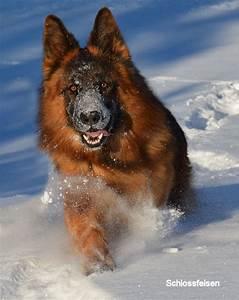 Long Coat German Shepherd, Cairo - schlossfelsen kennels ...
