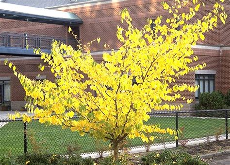 hamamelis virginiana plant hamamelis virginiana landscape plants oregon state university