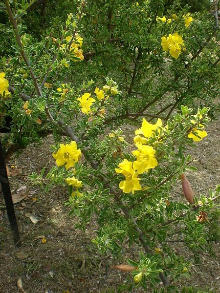 Indigenous Yellow Flowering Shrubs South African Landscape