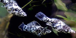 Makanan Ikan Hias Molly harga ikan molly