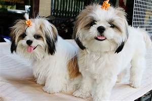 Funny Shih Tzu | Cute Puppies Wallpaper | And Pictures ...