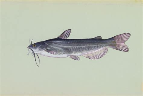 catfish fish river walleye dee species massachusetts types fishes vitreum pee yadkin underwater catus nc freshwater virginia pa pennsylvania system