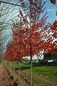 Großen Apfelbaum Kaufen : gro en baum kaufen hier rotahorn red sunset verkauf und versand ~ Frokenaadalensverden.com Haus und Dekorationen
