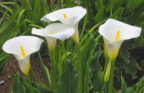 calla lilies south africa the arum lily zantedeschia aethiopica the garden of eaden