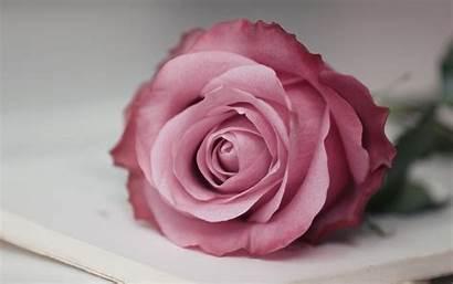 Rose Flower Macro Flowers Wallpapers