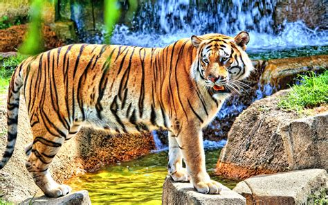 hd tiger image impremedianet