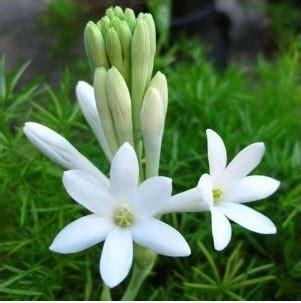 Tanaman Hias Bunga Sedap Malam umbi sedap malam kecil 5 pcs bibitbunga