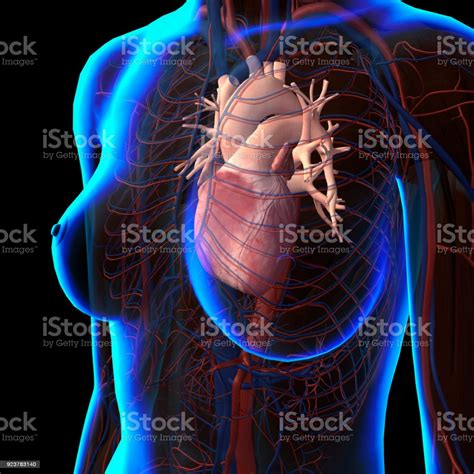 Learn about each muscle, their locations & functional the pectorals, or chest muscles, are so large and prominent that they can't be hidden. 最良かつ最も包括的な Ray Diagram Of Heart - さととめ