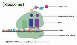 Translation Diagram Ribosome