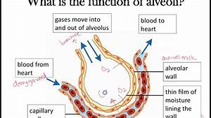 Gas Exchange  Part 2   Awesome Alveoli Adaptations