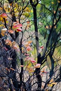 Rote Blätter Baum : rote bl tter fallen weg vom baum stockfoto bild 68869678 ~ Michelbontemps.com Haus und Dekorationen