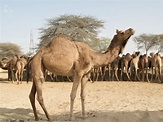 Why Camels Are Important to Emirati Culture