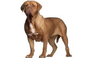 Dogue De Bordeaux Dog Breed