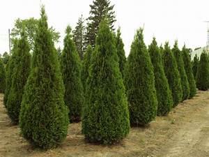 Thuja Smaragd Düngen : thuja occidentalis smaragd emerald cedar ~ Michelbontemps.com Haus und Dekorationen