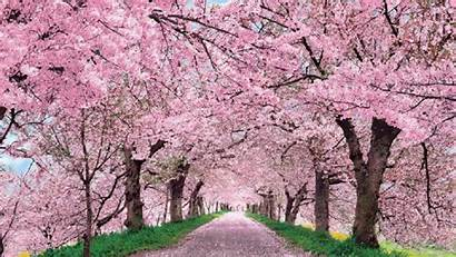 Cherry Desktop Blossom Background Blossoms Japan Definition