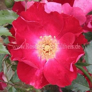 Rosen Düngen Im Frühjahr : dortmund rosen online kaufen im rosenhof schultheis rosen online kaufen im rosenhof schultheis ~ Orissabook.com Haus und Dekorationen